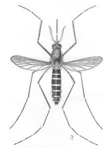 anatomie du moustique