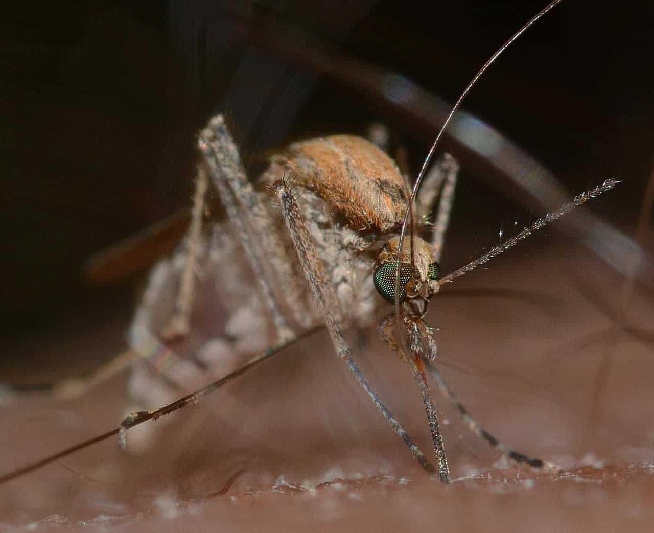 especes de moustiques
