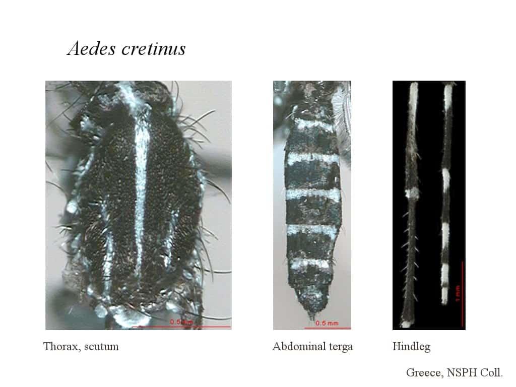 Aedes cretinus