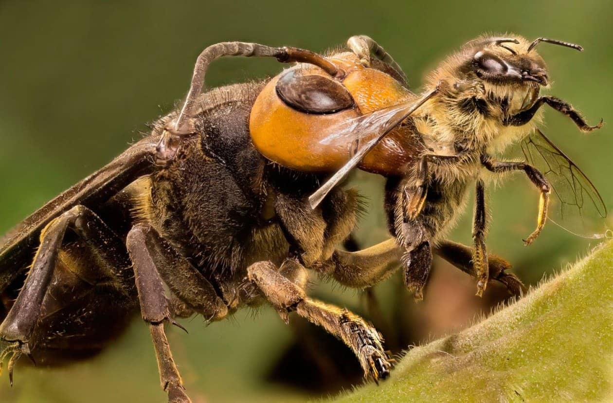 frelon asiatique abeille