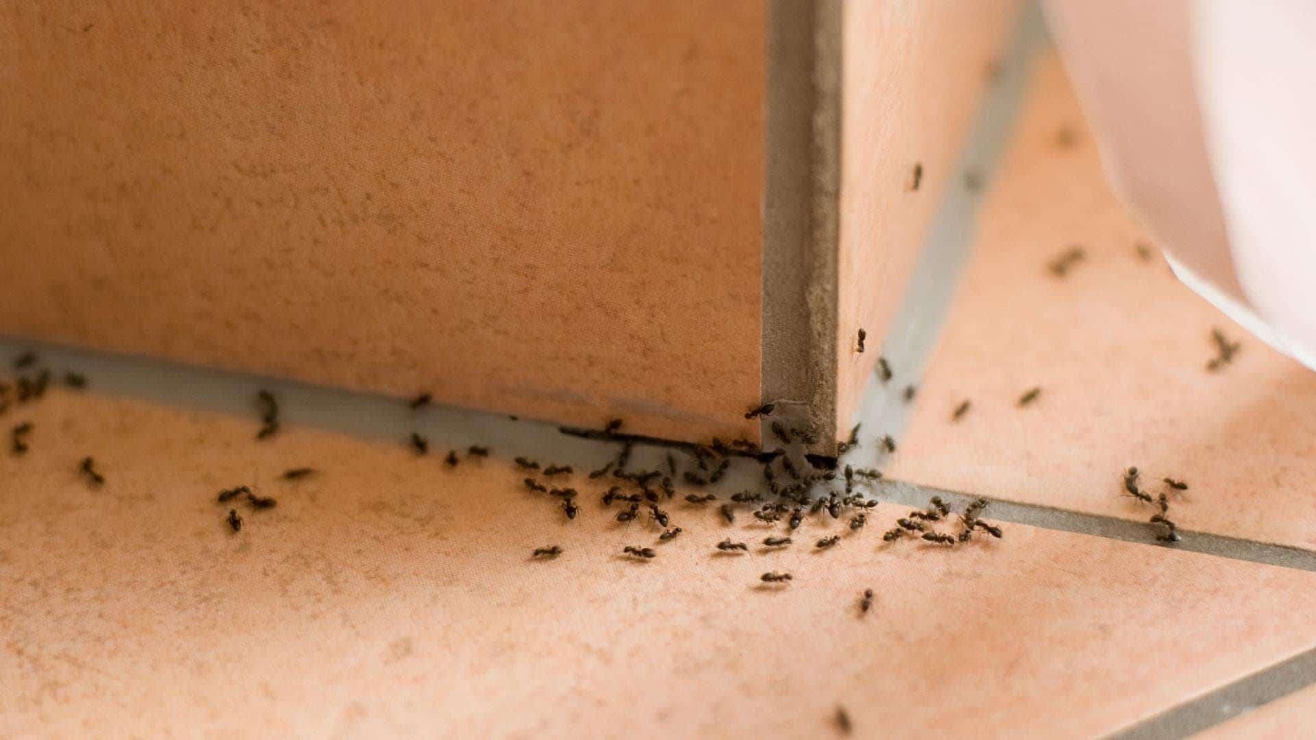 chemin fourmi maison