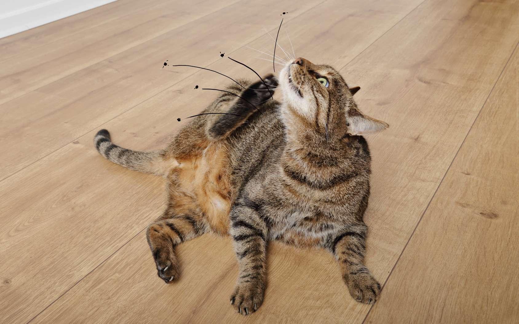 puce du chat