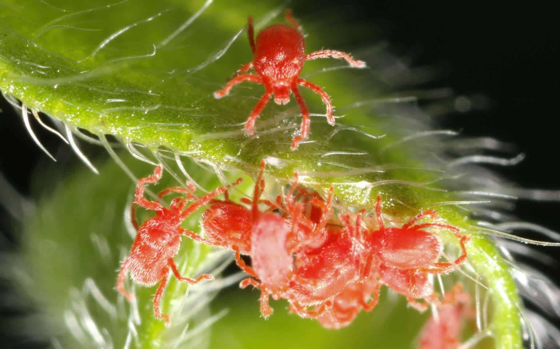 acarien rouge