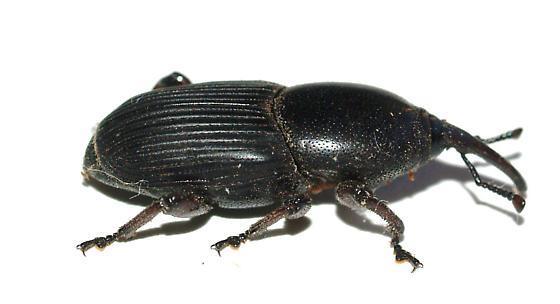 charançon noir