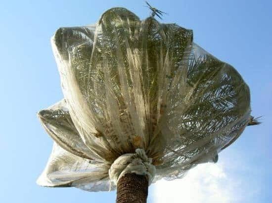 Ensachage de palmier