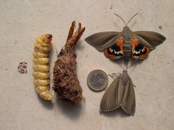 larve papillon palmier