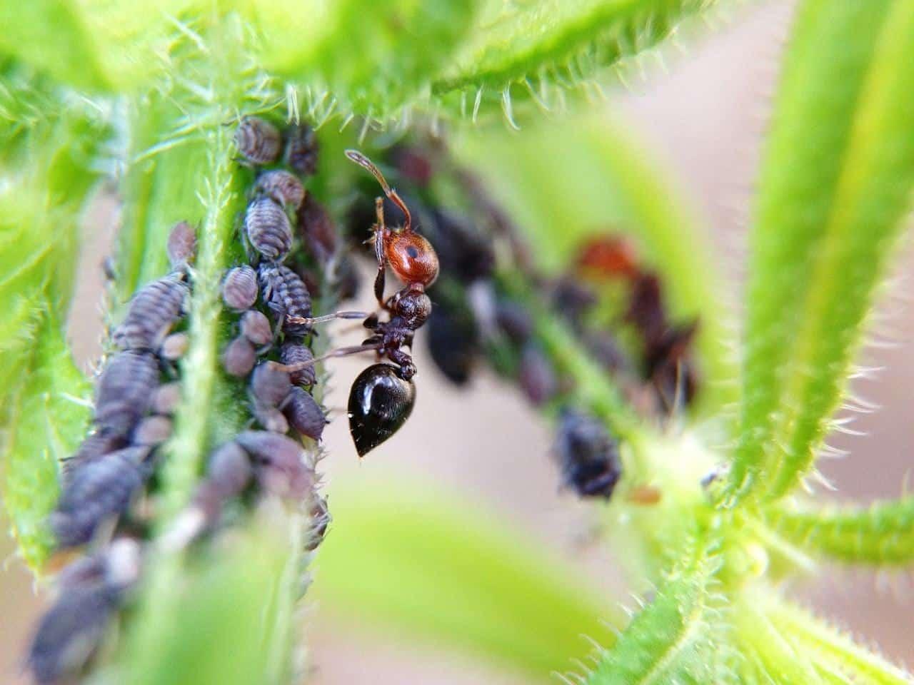 Fourmis se nourrissant de miellat de pucerons