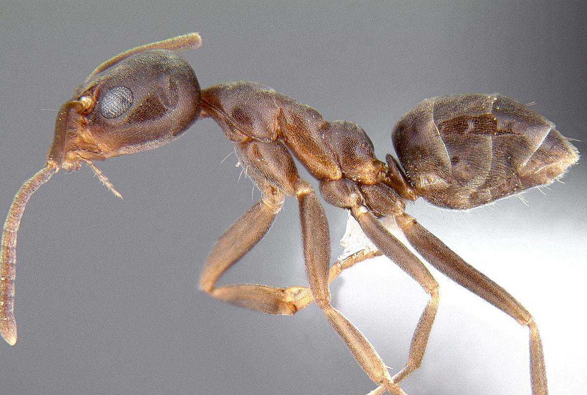 fourmi argentine