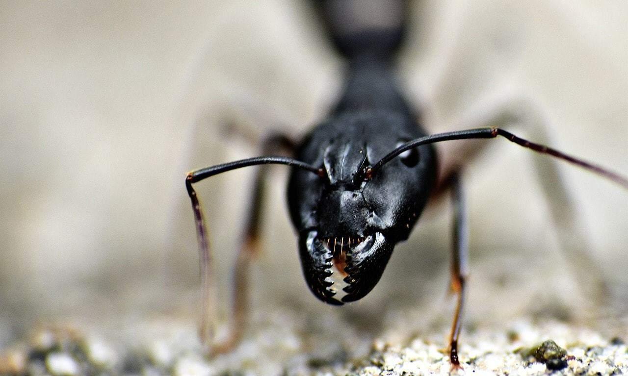 mandibules de fourmi