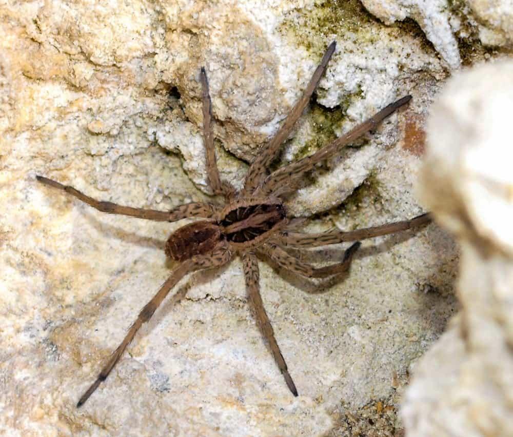 araignée de france