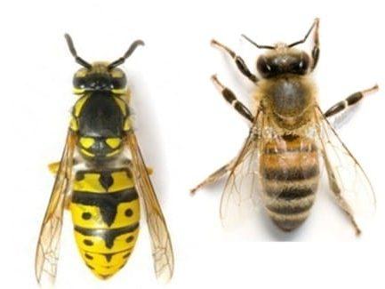 différence abeille guêpe