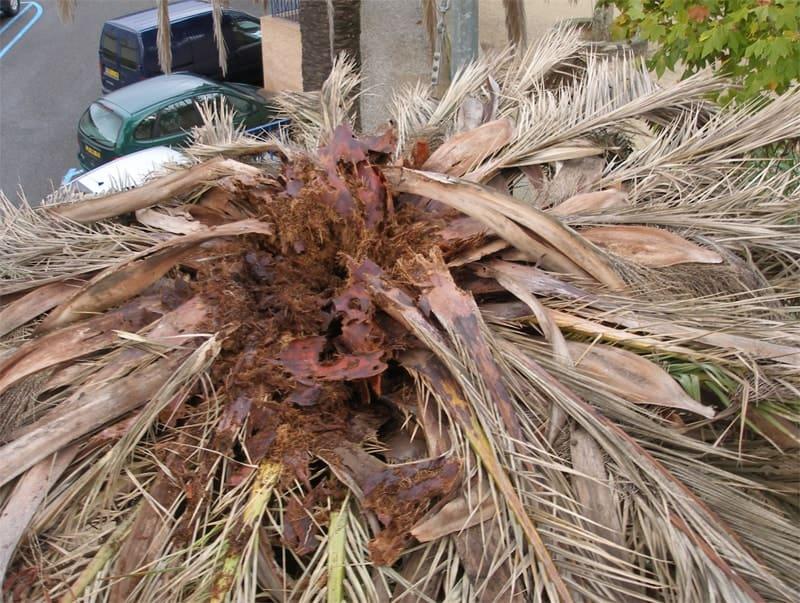 charançon rouge palmier image