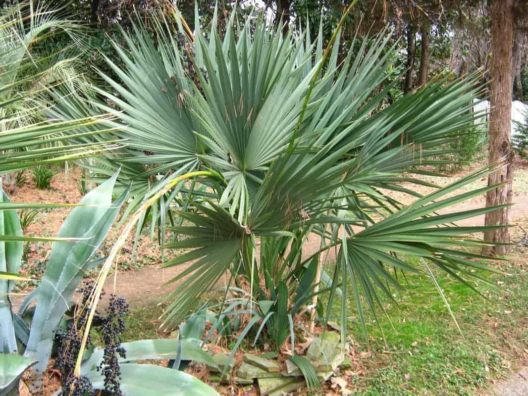 Palmier Sabal brazoria