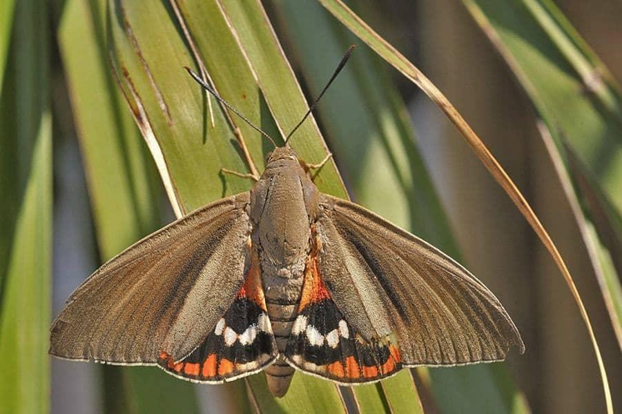 lutte papillon du palmier
