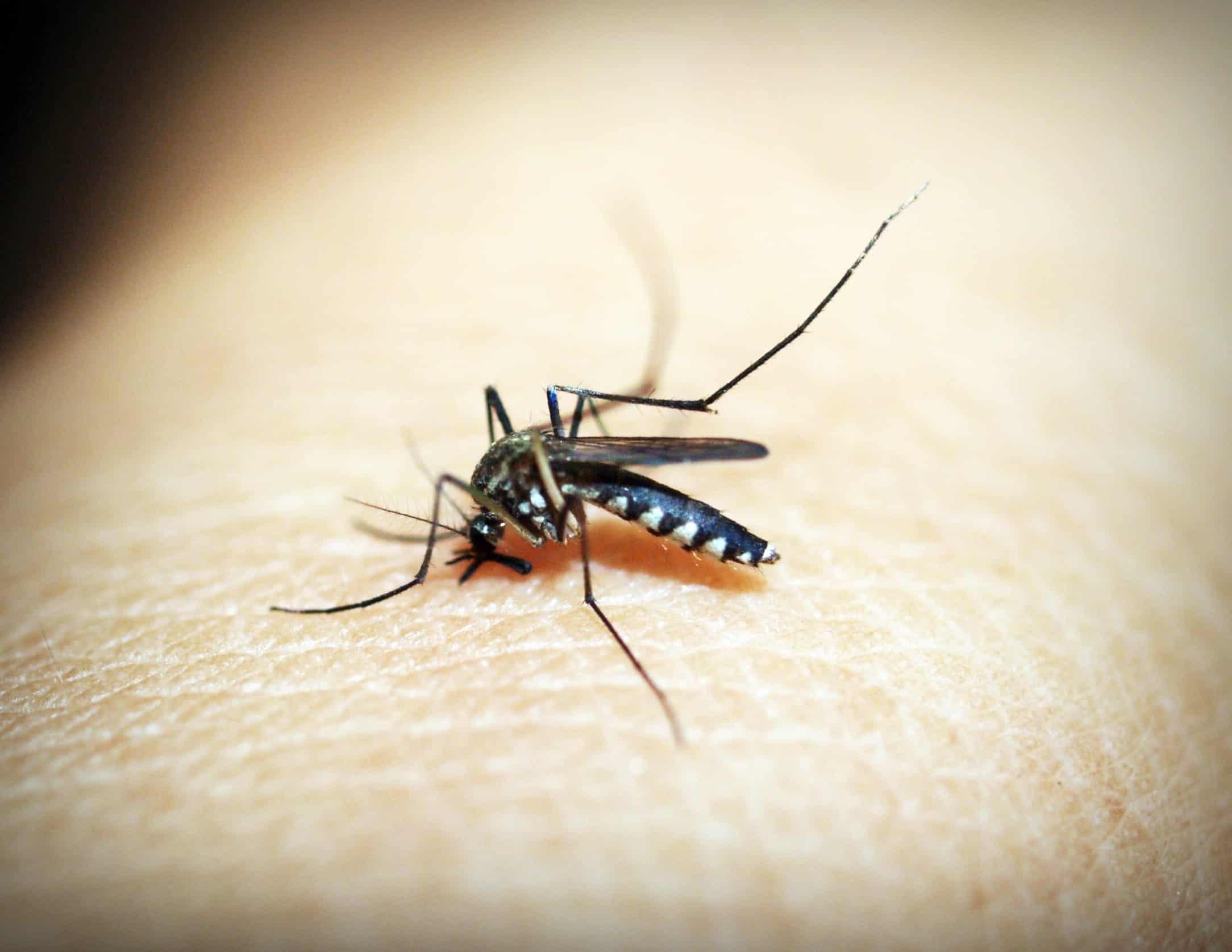 Moustique en train de piquer une peau humaine