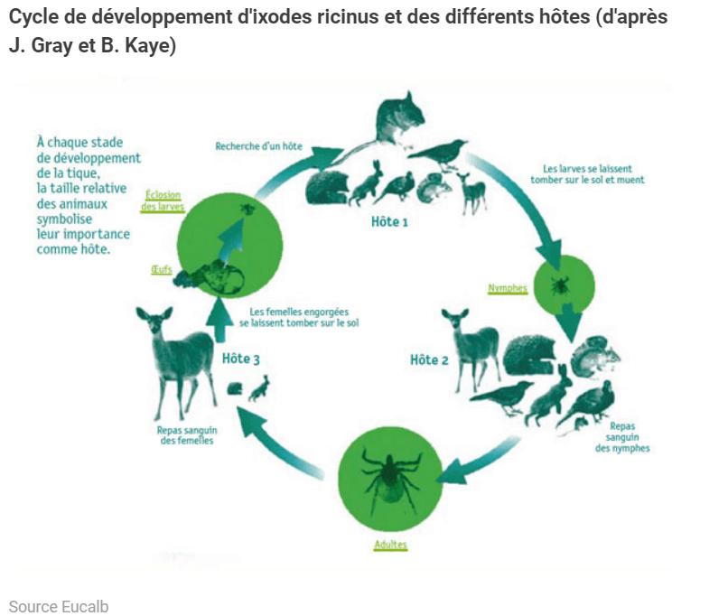 cycle de développement tique